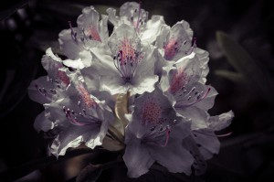 Rhododendron after sunset 148