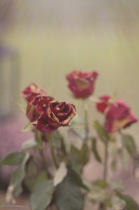 wilted roses IMG_0983
